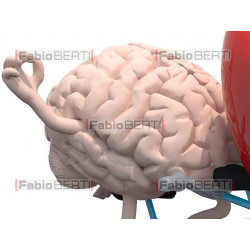 heart and brain on a tandem