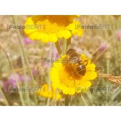 fiori con ape
