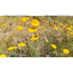 fiori e ape