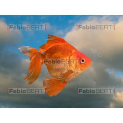pesci rossi che volano